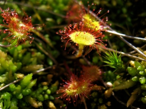 Sundew - an insectivorous plant