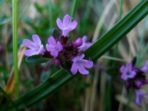 Wild Thyme - a fragrant herb