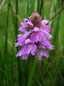 Common Orchid - often found near boggy ground